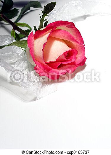 Rosa blanca - csp0165737