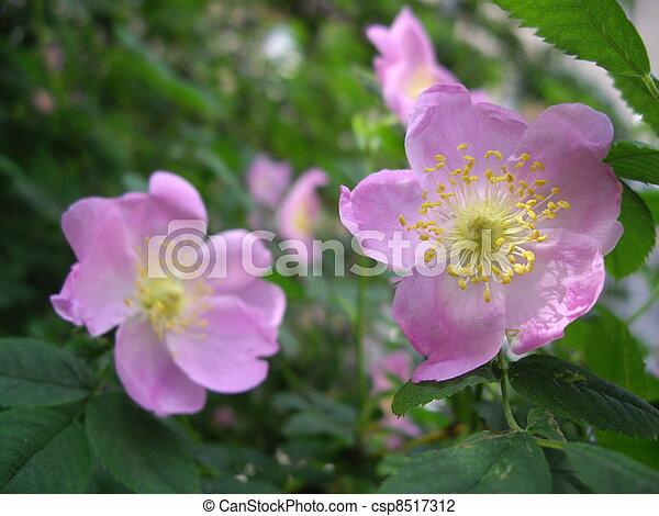 rosa, cane - csp8517312