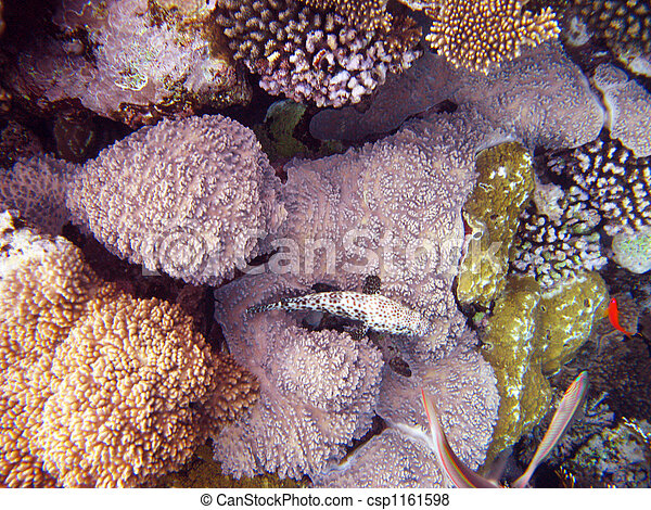 Coral rosa - csp1161598