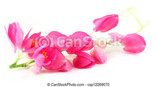 Enredadera de coral rosa - csp12269070