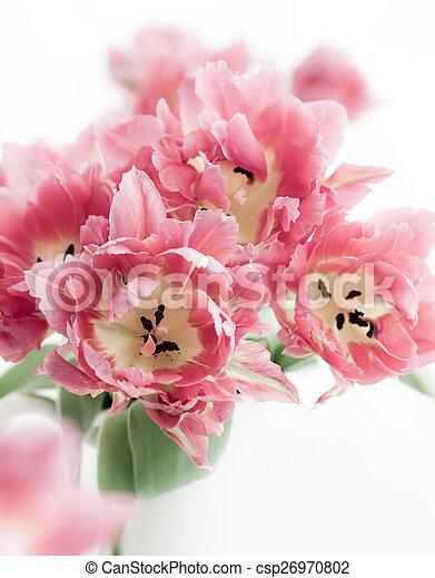 Tulipán rosado doble peonía - csp26970802