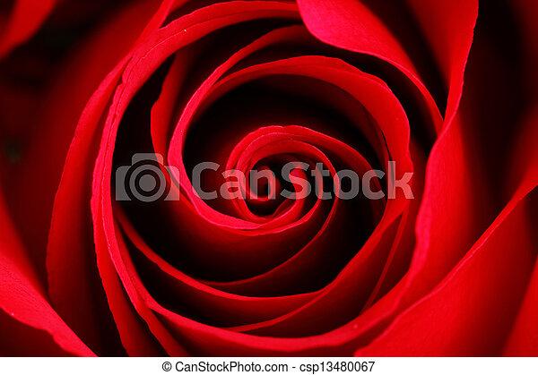 rosa, encima de cierre - csp13480067