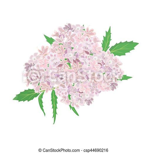 rosa, fiori bianchi, isolato, fondo - csp44690216