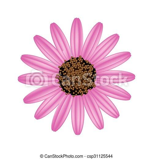 Flor de margarita rosa en un fondo blanco - csp31125544