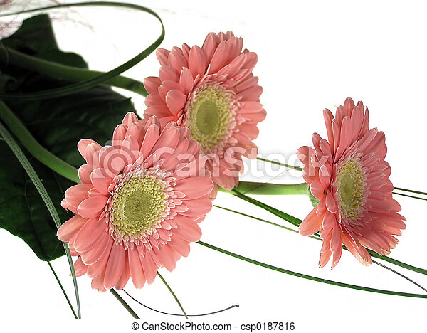 rosa florece - csp0187816