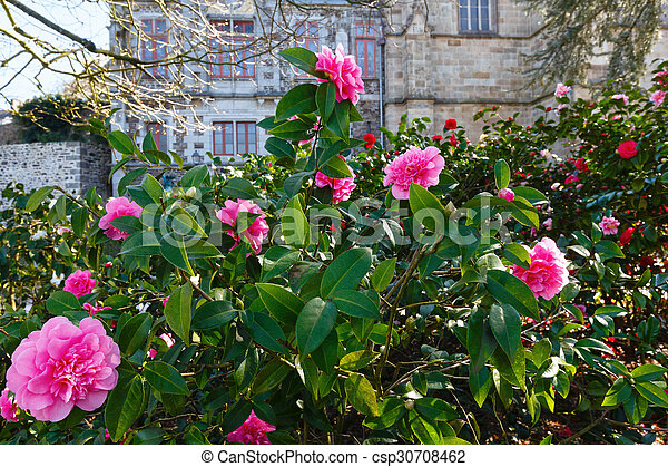 rosa flowers bl hen kamelie busch rosa spring stockbild suche fotos und foto. Black Bedroom Furniture Sets. Home Design Ideas