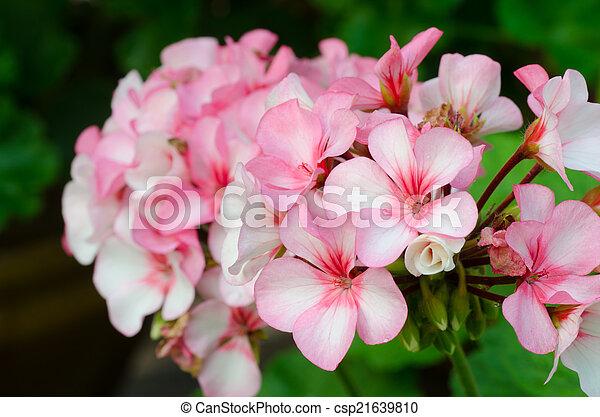 Geranios de bicolor rosa - csp21639810