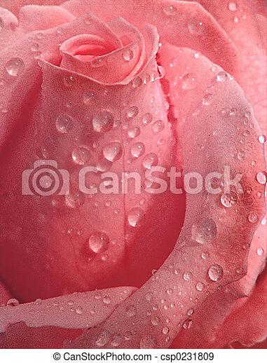 Rosa rosa, gotitas - csp0231809