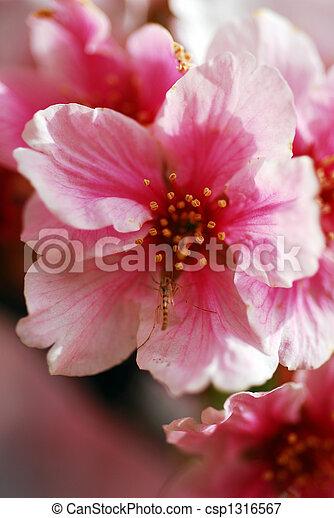 Rosa Kirschen Blumen Blühen Rosa März Kirschen Monat Blühen