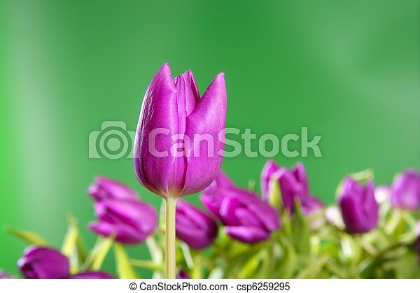 rosa, levande, tulpaner, grön fond, blomningen - csp6259295