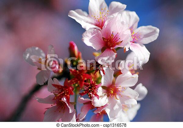 Rosa März Kirschen Monat Blühen Blumen