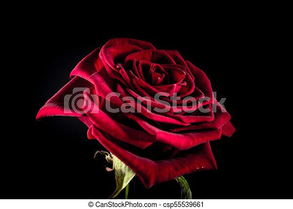 Rosa roja con manchas rojas en el fondo negro - csp55539661