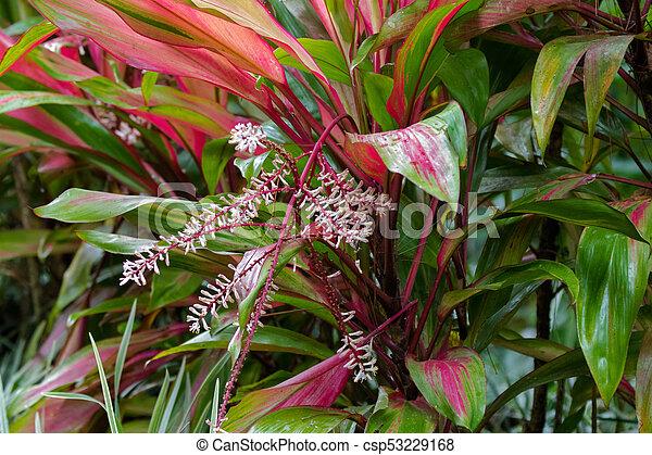 Rosa, pflanze, blätter, malaysien, grün, cordyline, blühen, blumen ...