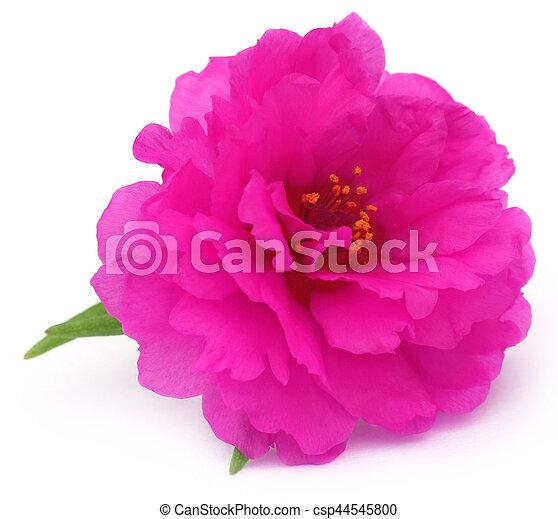 Portulaca grandiflora o muss rosa - csp44545800