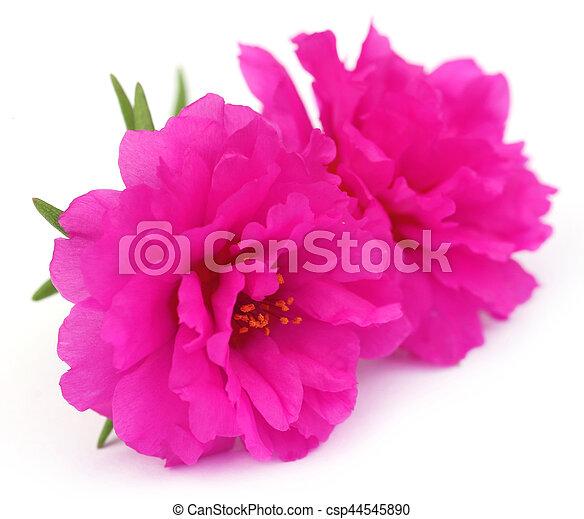 Portulaca grandiflora o muss rosa - csp44545890