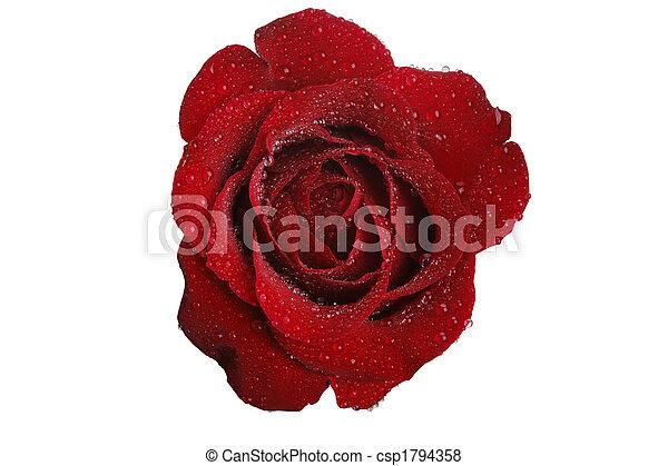 Rosa roja y blanca - csp1794358