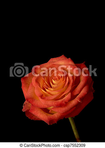 rosa, rosso - csp7552309