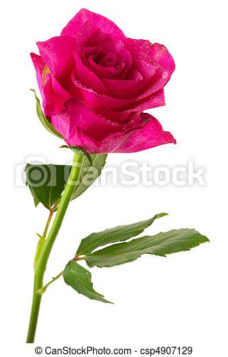 rosa, singolo - csp4907129