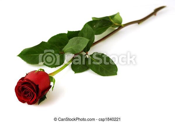 rosa, singolo, sfondo bianco, rosso - csp1840221
