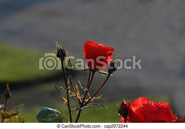 rosa, sob, verão, sol - csp2972244