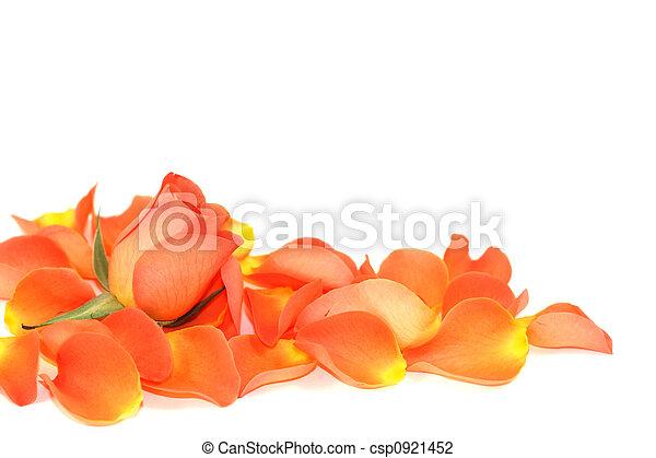 rosa, sobre, pétalas - csp0921452