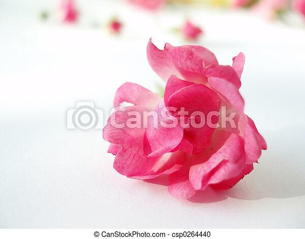 Rosa rosada - csp0264440