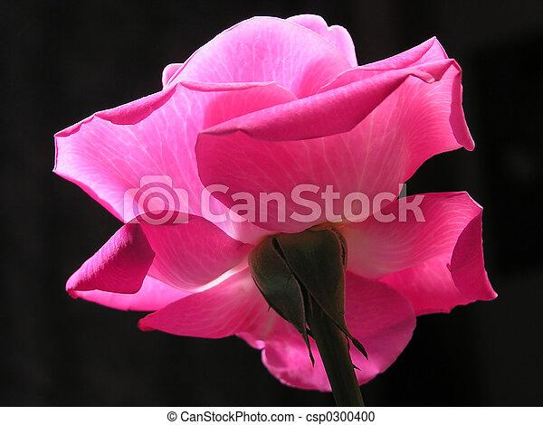 Rosa rosada - csp0300400