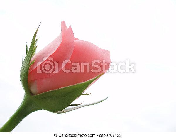 Rosa rosada - csp0707133