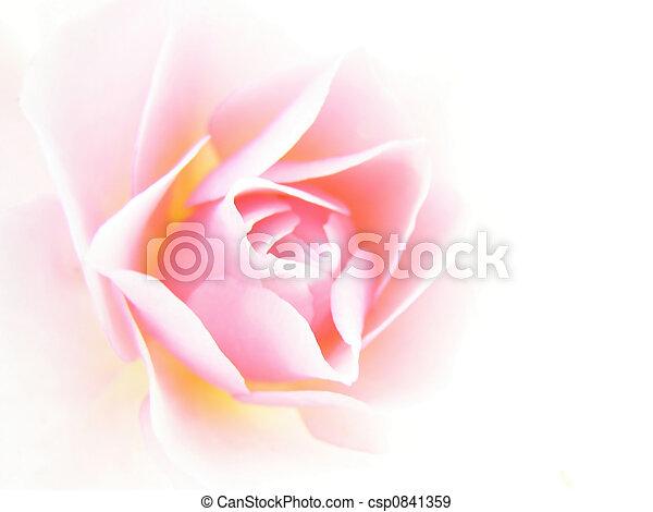 Rosa rosada - csp0841359