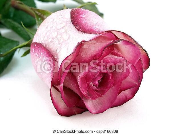 Rosa rosada - csp3166309