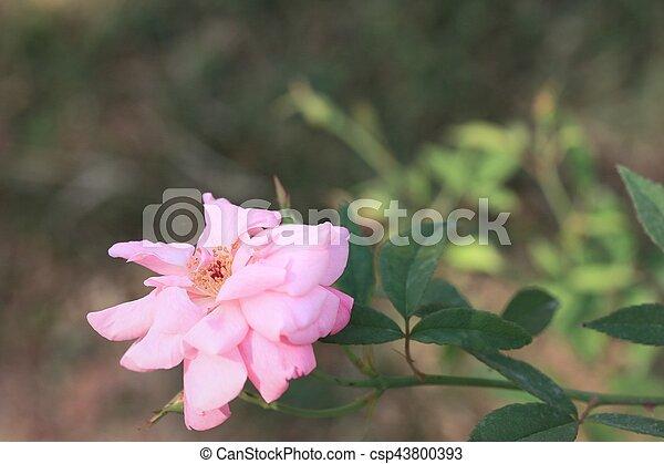 rosa subió - csp43800393