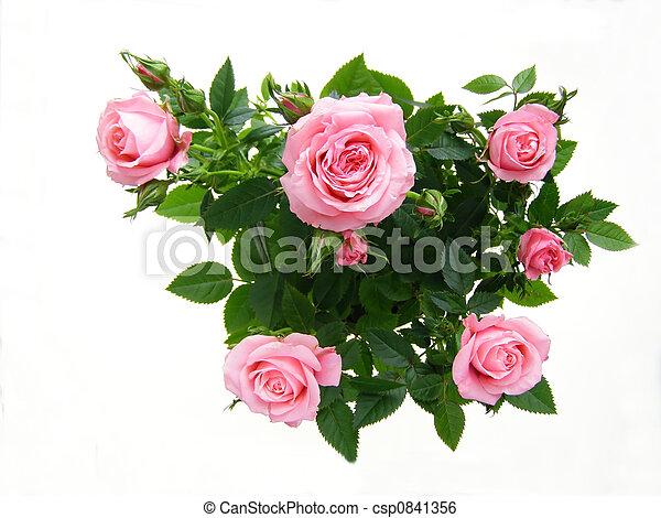 Rosa rosada - csp0841356