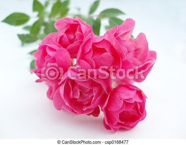 Rosa rosada - csp0168477