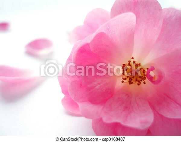 rosa subió - csp0168487