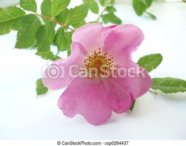 Rosa rosada - csp0264437