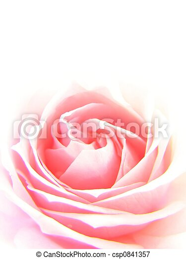 Rosa rosada - csp0841357