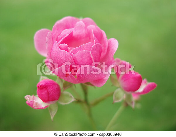Rosa rosada - csp0308948