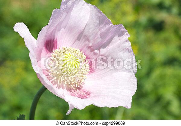 rosa, testa, naturale, sopra, fondo, papaveri - csp4299089
