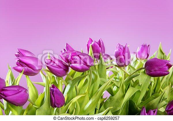 rosa, tulpaner, blomningen, ateljé fotograferade - csp6259257