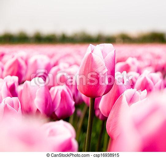 rosa, tulpe feld - csp16938915