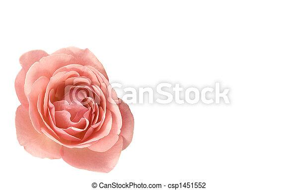 El día de las rosas rosas rosadas subió - csp1451552