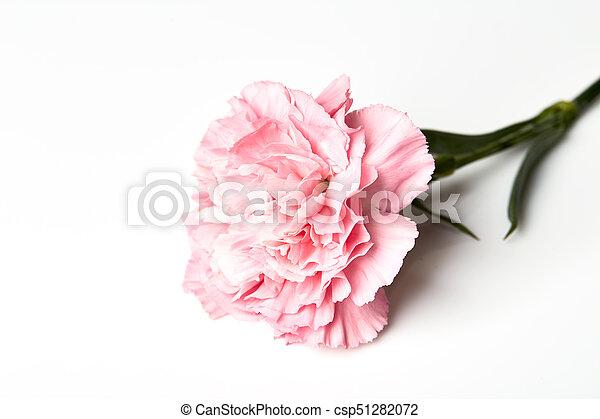 Prächtig Rosa, weiße blume, nelke. Rosafarbene blume, nelke, freigestellt &TD_12