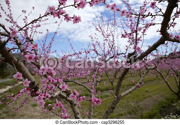 Rosafarbene blume, mandel, bäume, feld, weisse blumen ...