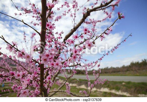Rosafarbene blume, mandel, bäume, feld, weisse blumen.... Stockfotos ...