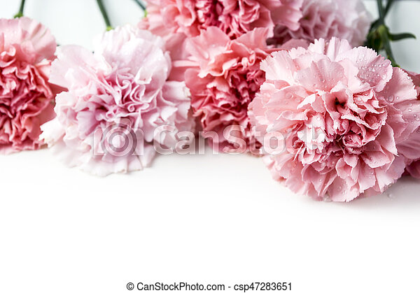 Lieblings Rosafarbene blume, nelke, freigestellt, hintergrund, weißes. #EG_08