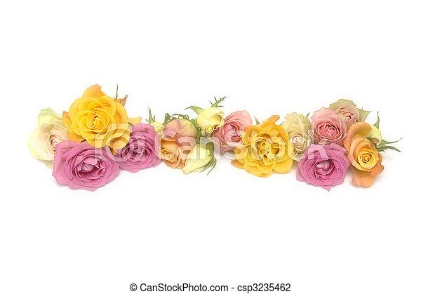 rosafarbene rosen, gelber  - csp3235462