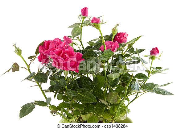 rosas cor-de-rosa - csp1438284