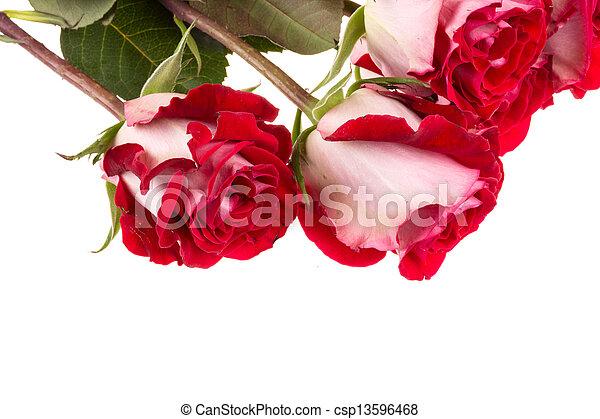 rosas cor-de-rosa, branca, isolado - csp13596468