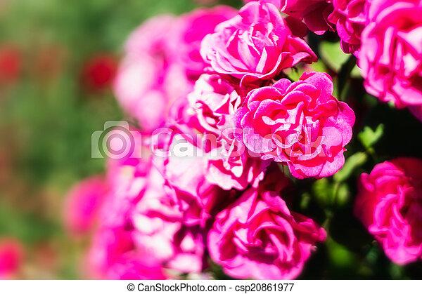 rosas cor-de-rosa, flores, fundo - csp20861977
