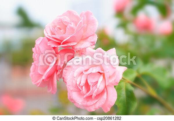 rosas cor-de-rosa, flores, fundo - csp20861282